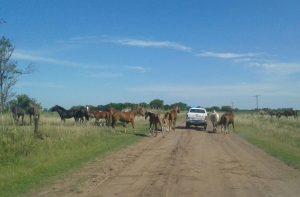 Secuestraron equinos sueltos en la vía pública