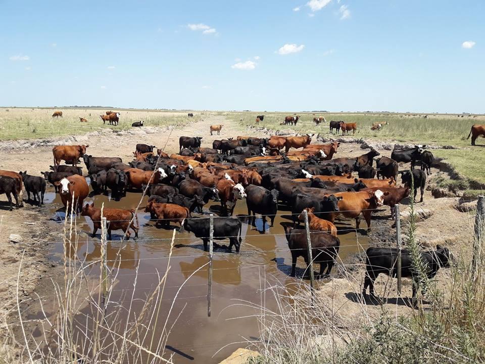 5/2/18- La fotografía tomada hoy, muestra lo que es un canal en la zona de San Patricio, entre las localidades de Rawson y Chacabuco,  dónde el ganado busca la única parte con agua de lote. En lo que va del año, las lluvias han variado en distinta intensidad en sectores del partido de Chacabuco, que en la mayoría de los casos, no ha sobrepasado los 100 milímetros y con temperaturas promedio de 32 grados, con muy baja humedad y presión atmosférica alta, que no ayudan a desarrollar precipitaciones pluviales. Foto gentileza: Noelia Ontiveros.