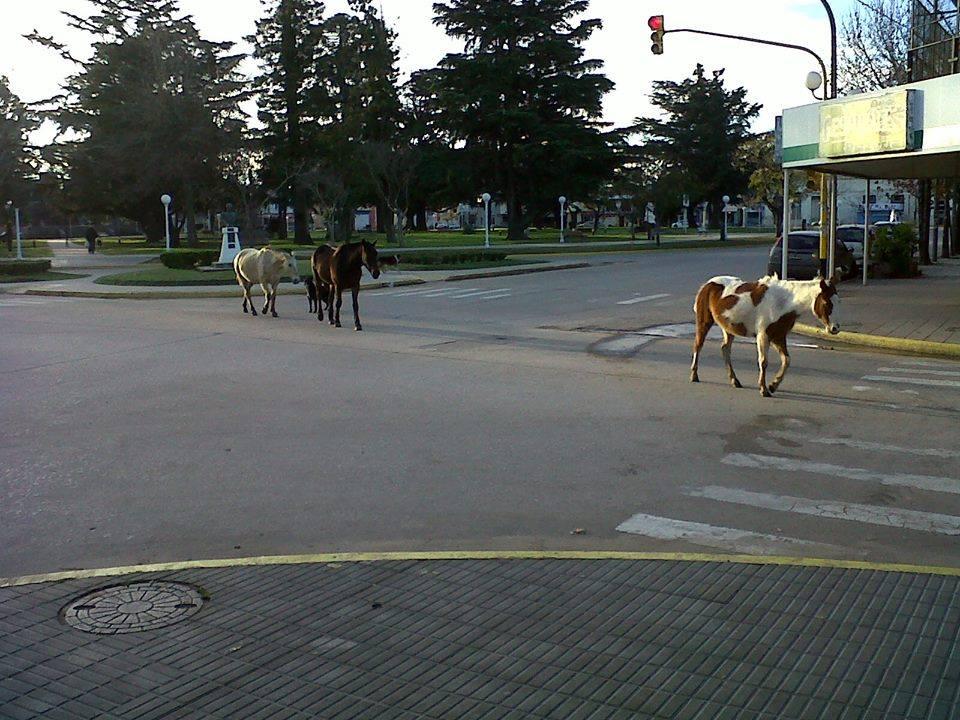 17/6/14- La imagen muestra a tres caballos pasando en la tarde de ayer por la plaza principal de la ciudad de Chacabuco.