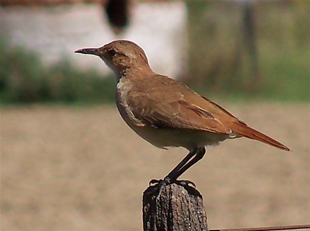 Ha ganado la merecida fama de ave trabajadora, por su sorprendente nido de adobe. Foto: Roberto Muñoz.