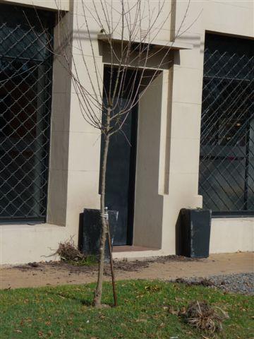 las plantas arrancadas de los macetones.