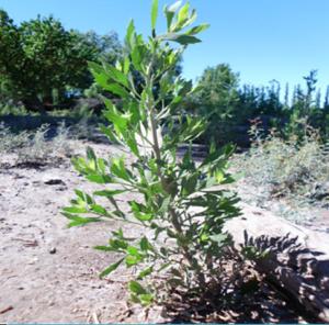 Entre las múltiples especies para las cuales la medicina folklórica describe distintos usos en el cuidado y preservación de la salud, se cuenta Tessaria absinthioides (pájaro bobo).