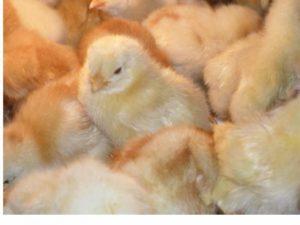 Entregan pollas ponedoras